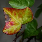 Ivy in autumn by Somerset33