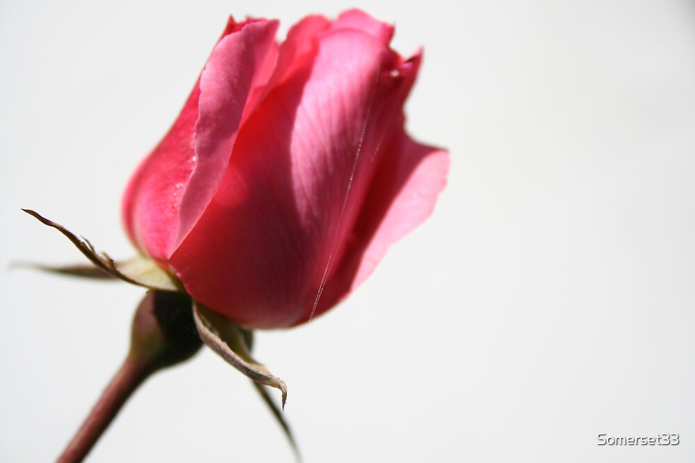 Rose is a Rose is a Rose is a Rose by Somerset33