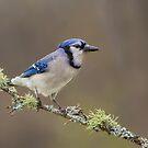 Blue Jay by Daniel Cadieux