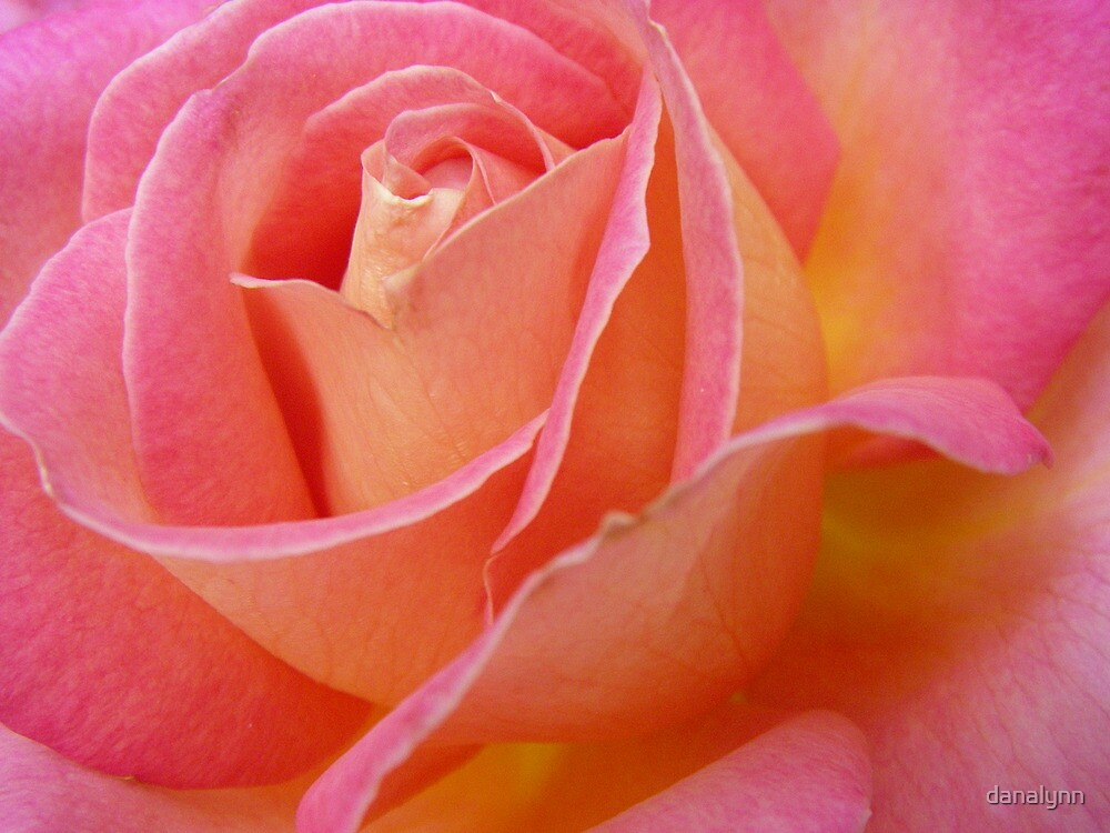 Chicago Peace Rose by danalynn