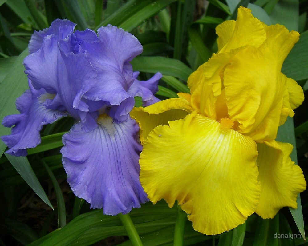 LSU Irises by danalynn