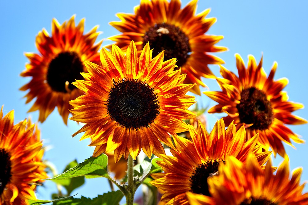 Sunflower by abocNathan