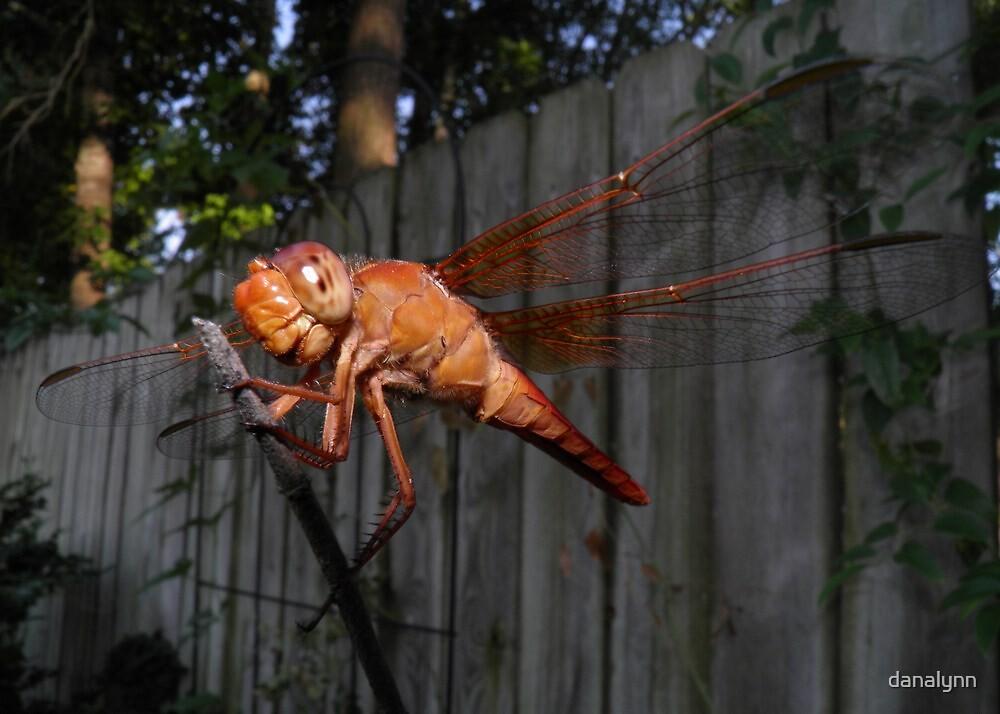 Red Dragonfly by danalynn