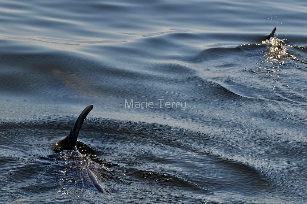 The Hidden Dolphin by Marie Terry