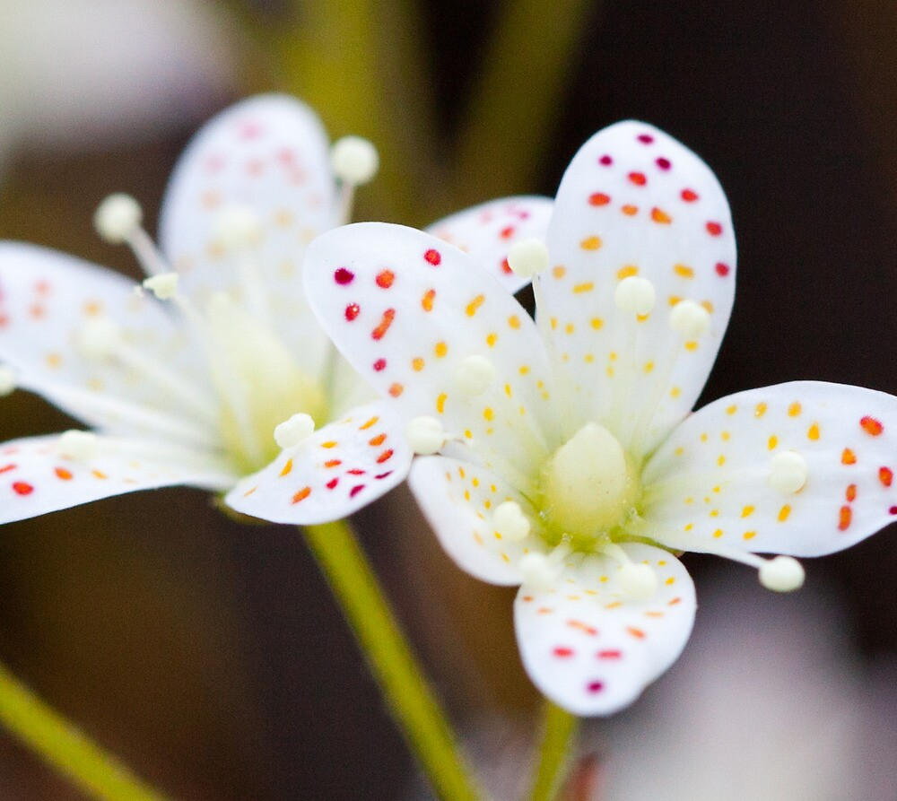 Spotted Petals, Jasper National Park, AB by Andy Townsend