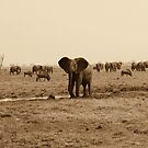 Savuti Marsh Elephants by Donald  Mavor