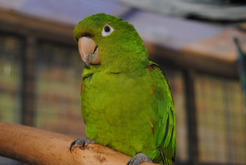 Leo, White Eyed Conure by The Island Parrot Sanctuary