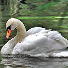 Young Swan by Kathy Baccari