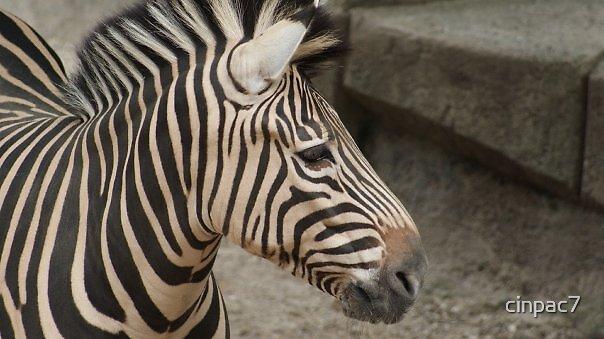 Zebra by cinpac7