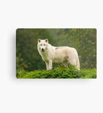 Arctic Wolf Metal Print