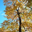 Fall Tree by Mellinda