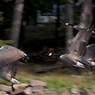 Geese in flight 2012 St. Lawrence River, Ontario by David Galson