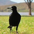 Magpie by Stephen  Shelley