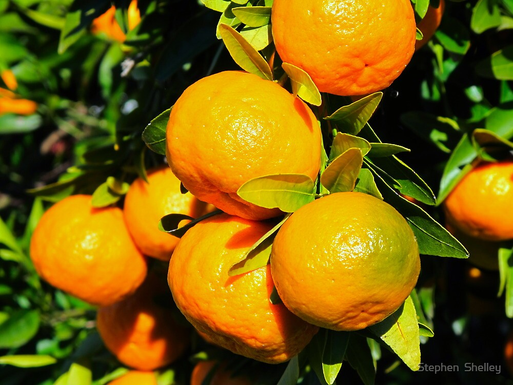 Tangerines  by Stephen  Shelley