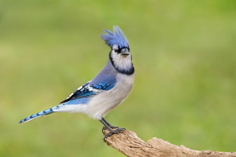 Spunky Blue Jay. by Daniel Cadieux