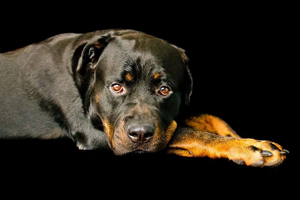 Male Rottweiler by christiejayde