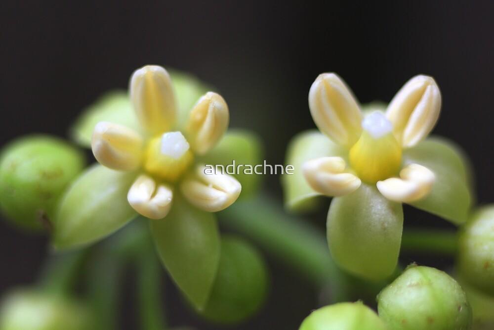 Abrophyllum ornans  by andrachne