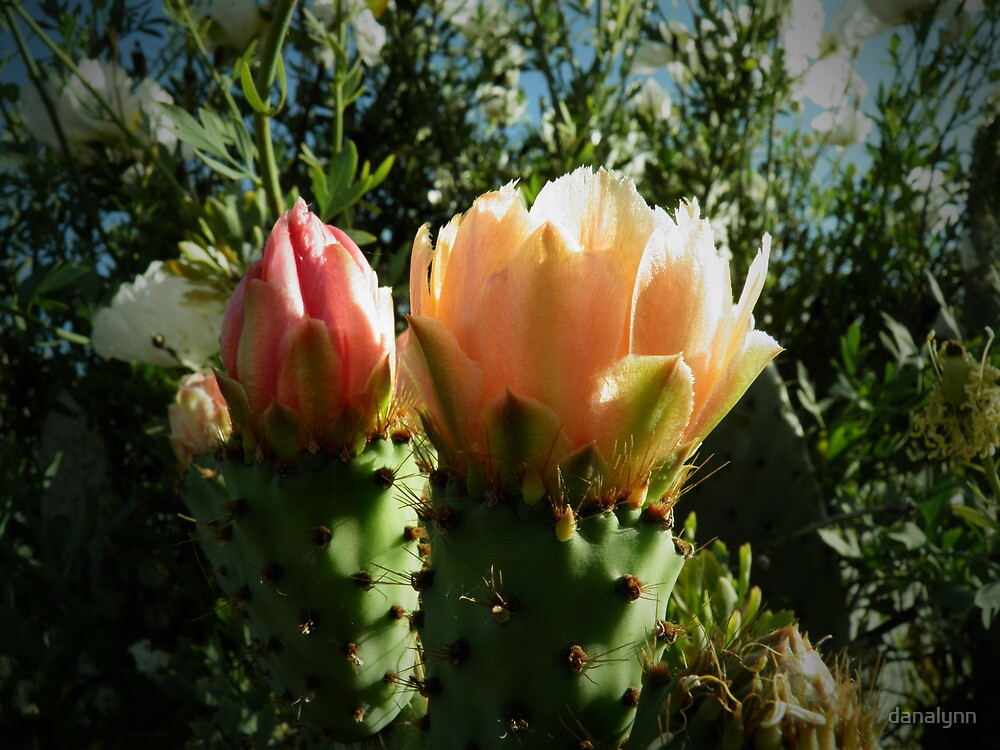 Cactus Flowers by danalynn