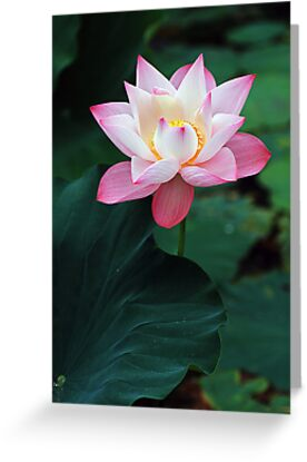 201209010801 Lotus by Steven  Siow