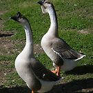 geese on the river - Bastrop, TX by danalynn