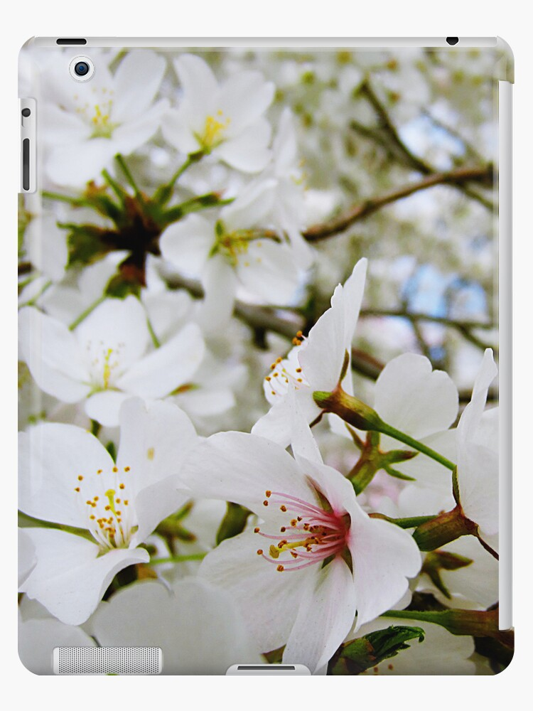Cherry Blossoms 5 by photonista