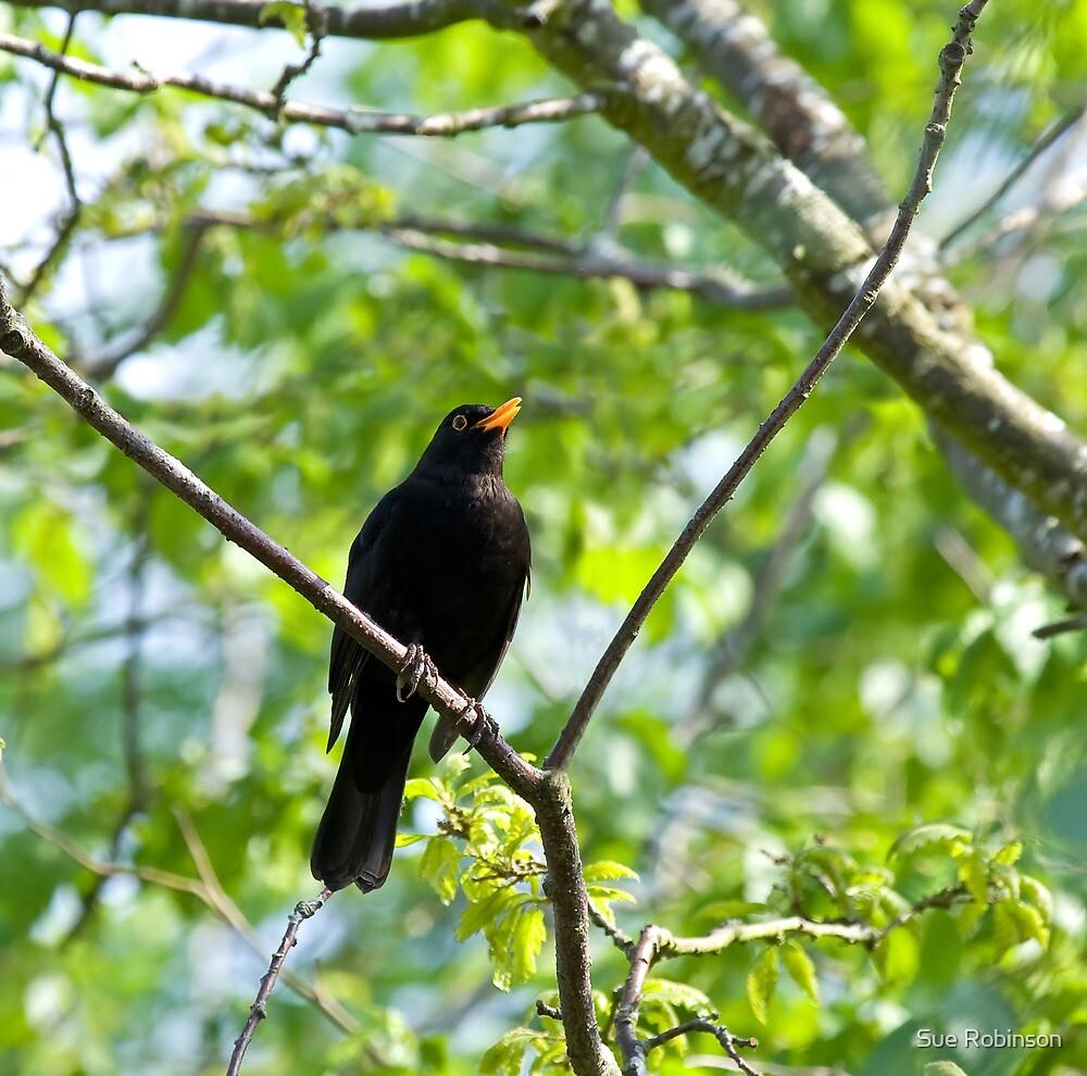 Common Blackbird singing by Sue Robinson