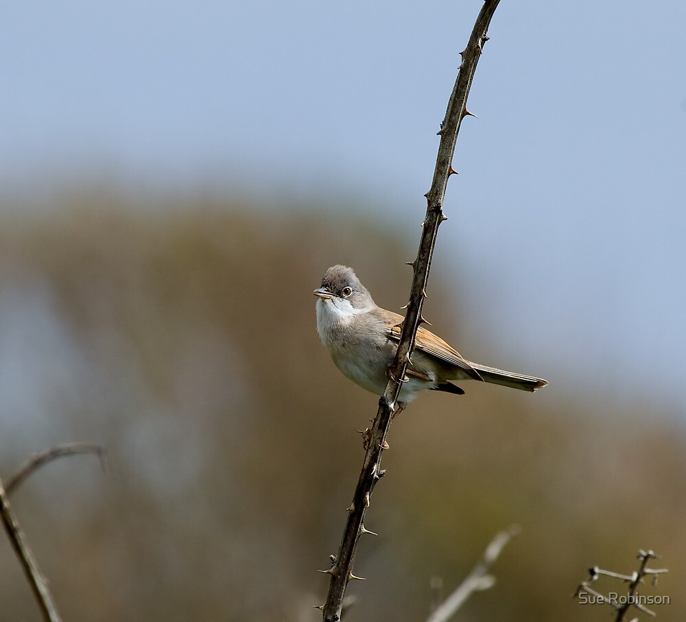 Common Whitethroat by Sue Robinson