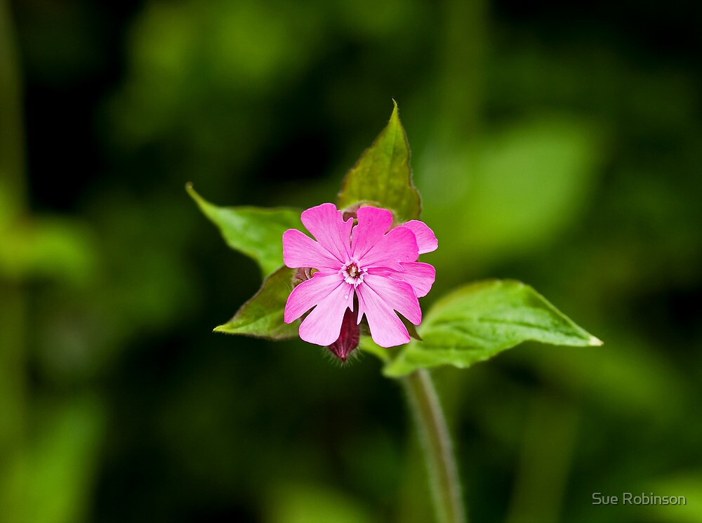 Red Campion and Leaves by Sue Robinson