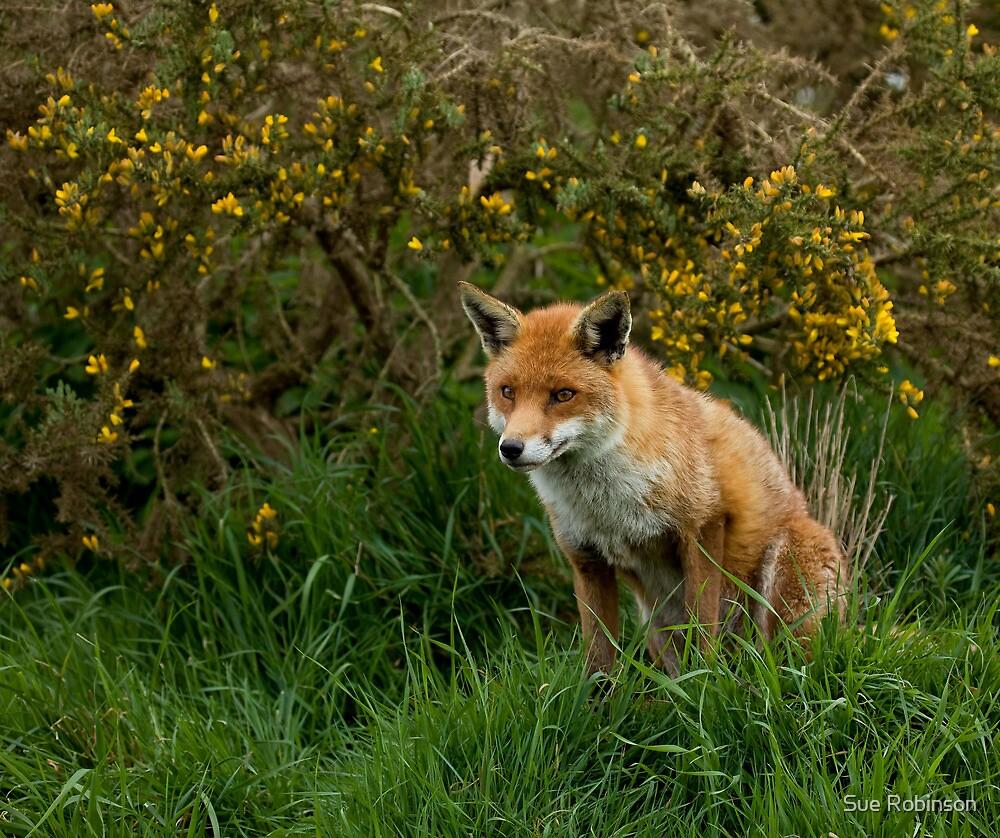 Red Fox by Sue Robinson