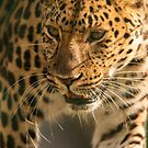 Amur leopard portrait by Daniel Jarvis wildlife and nature photography