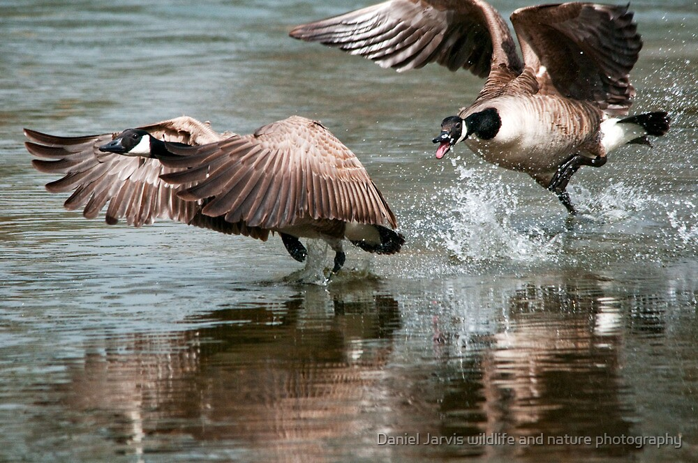 Get off my Lake!!! by Daniel Jarvis wildlife and nature photography