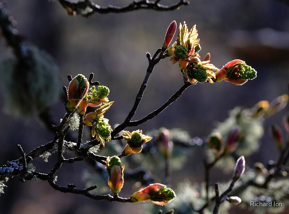 Silver birch buds, Killin by Richard Ion