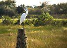 Great Egret at Viera Wetlands by ValeriesGallery
