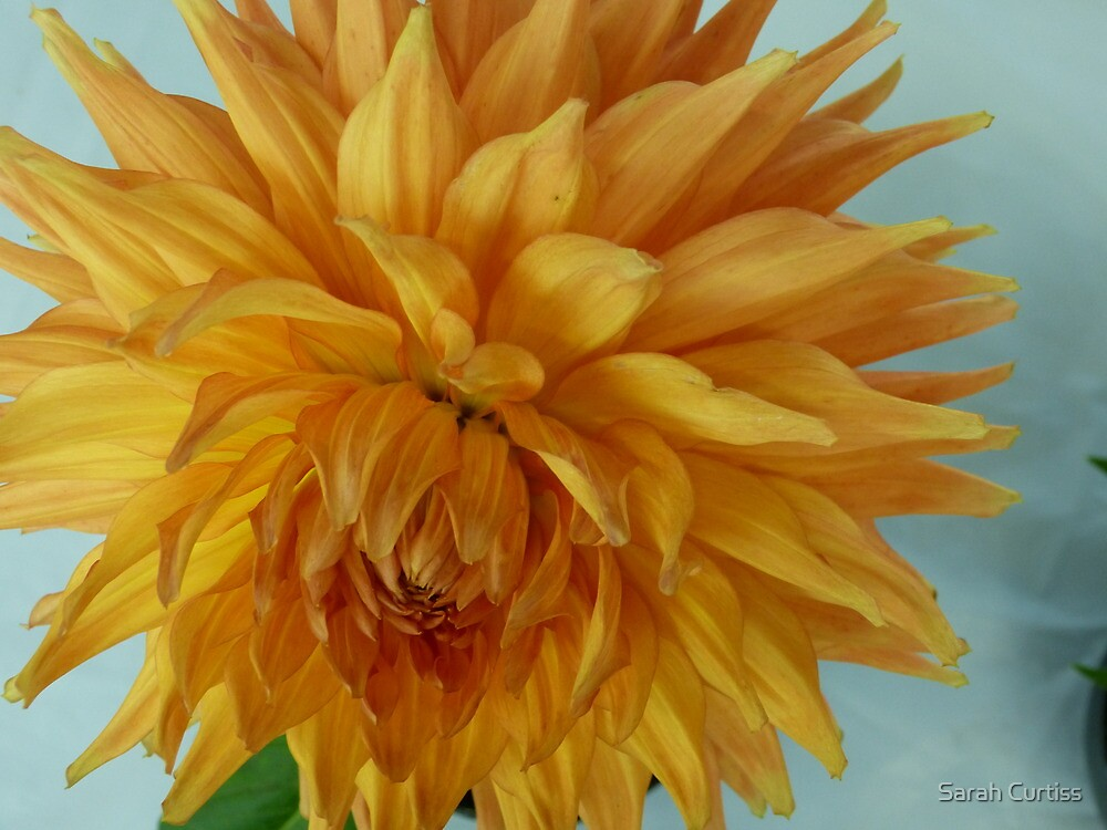 Dahlia #7 by Sarah Curtiss