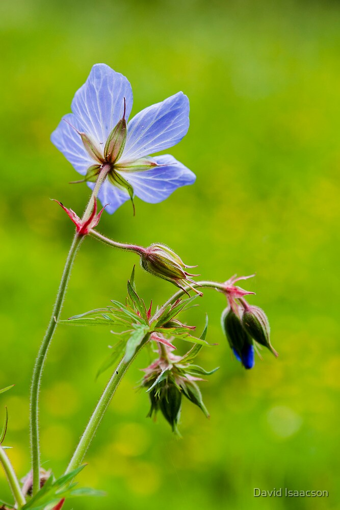 Field geranium by David Isaacson