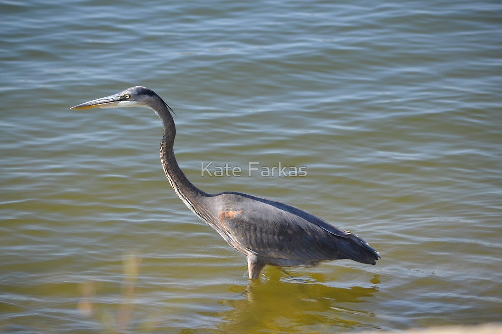 Blue heron, not shy by Kate Farkas