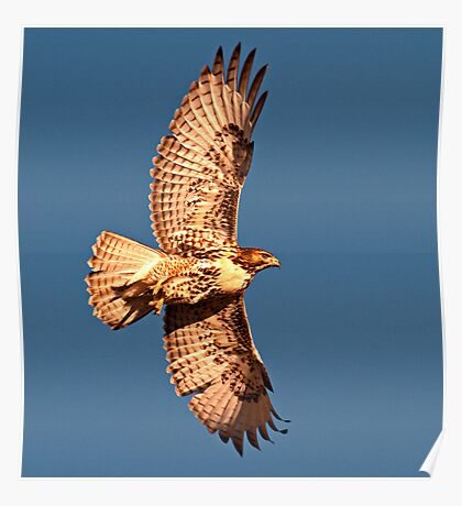 1103121 Red Tailed Hawk Poster