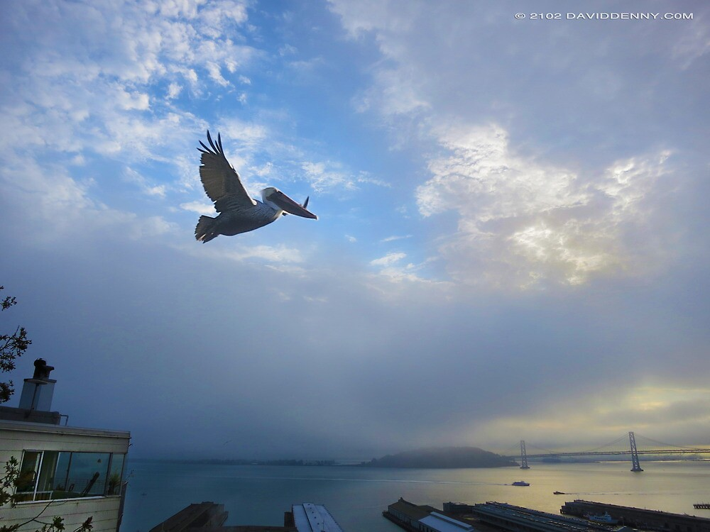 Pelican over the Bay by David Denny