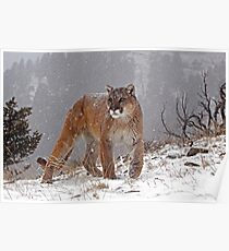 Cougar in heavy snow Poster