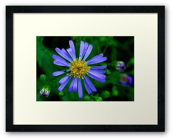 Blue Daisy by Randall Talbot