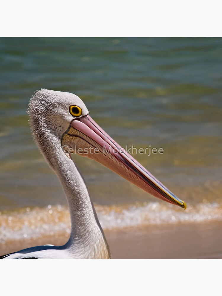 Aussie-Pelikanprofil von celestem