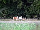 White Deer by Nigel Bangert