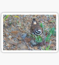 Killdeer bird sits over her nest of eggs Sticker