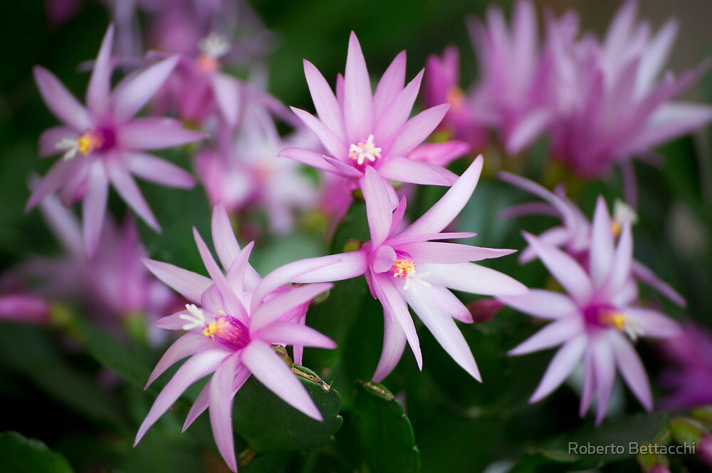 Pink stars by Roberto Bettacchi