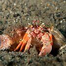 Hermit Crab - Dardanus pedunculatus by Andrew Trevor-Jones