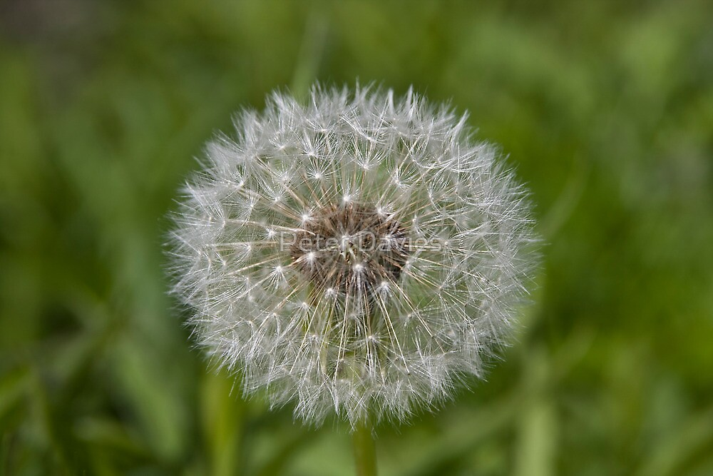 Dandelion  by Peter Davies
