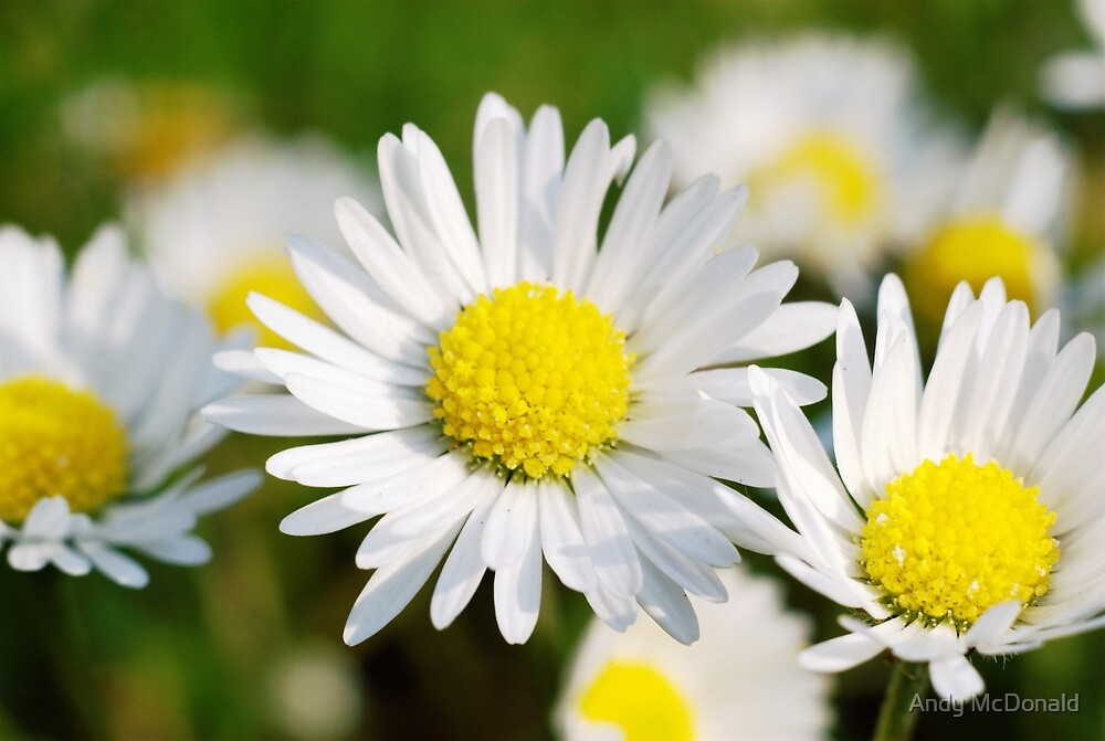 Daisies by Andy McDonald