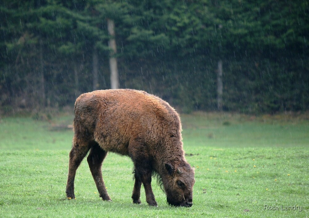 Baby Bison in the Rain by Rose Landry