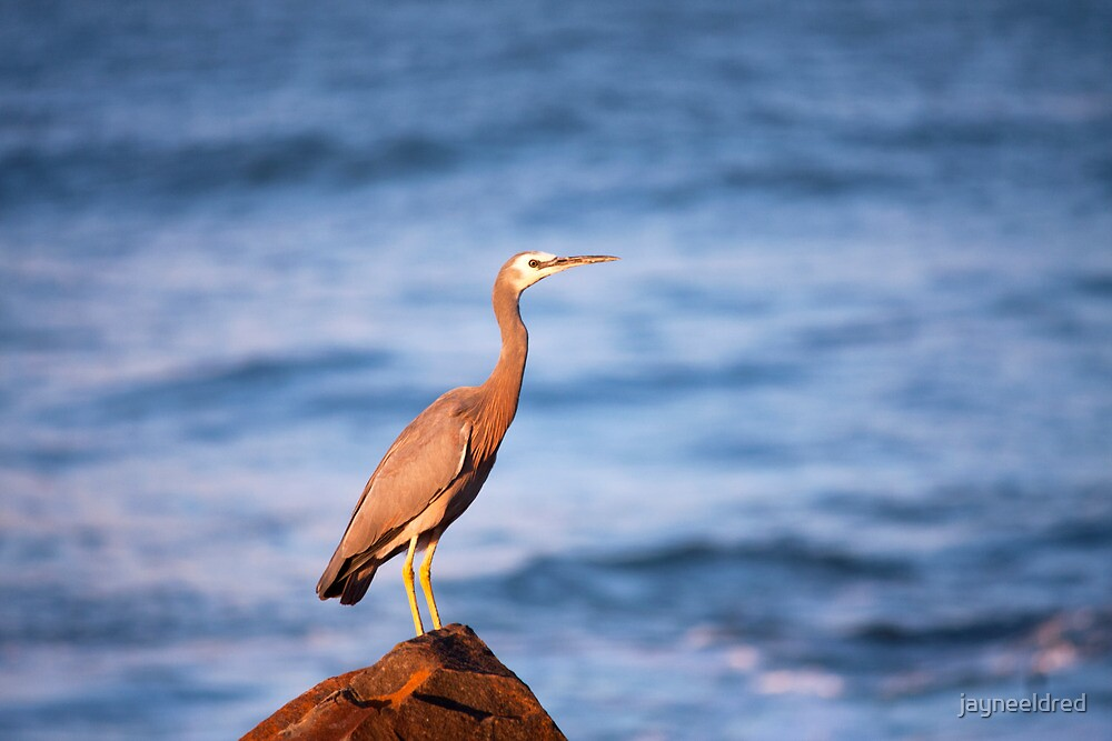 Blue Heron at Old Bar by jayneeldred