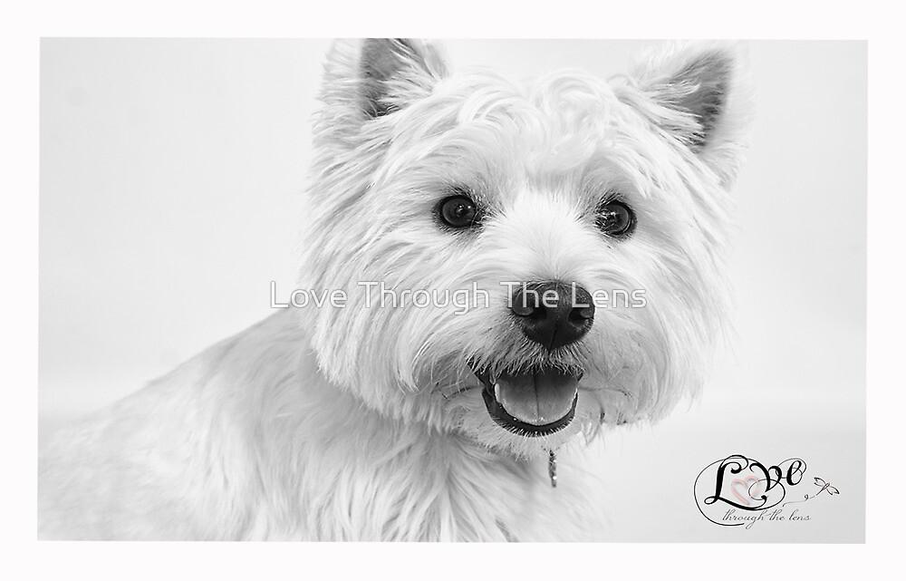 Westie Portrait  by Love Through The Lens